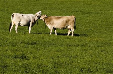 Cows graze in Le Peuchapatte in the Jura region, western Switzerland October 7, 2010. REUTERS/Michael Buholzer