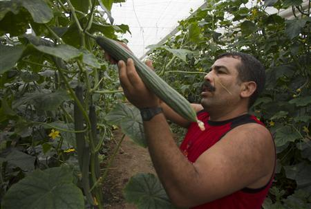 A worker harvests cucumbers in a greenhouse in El Ejido in Andalucia, in southeast Spain, May 26, 2011. REUTERS/Francisco Bonilla