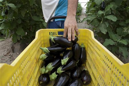 A worker puts aubergines in a container after collecting them inside a gree,house in La Mojonera, southeastern Spain, June 2, 2011.REUTERS/Francisco Bonilla