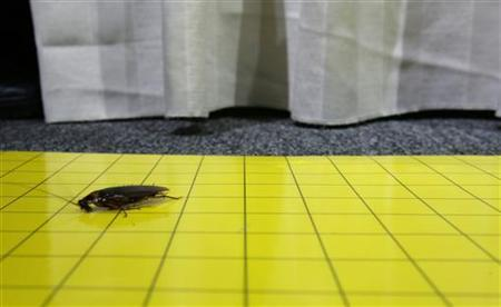 A cockroach is trapped on a sticky card after escaping from the race tracks during the Great Cockroach Derby in Singapore August 10, 2006. REUTERS/Kimitsu Yogachi