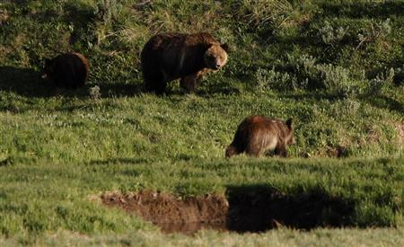 A grizzly bear and her two cubs in the Hayden Valley in Yellowstone National Park, Wyoming, June 24, 2011. REUTERS/Jim Urquhart
