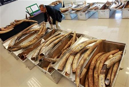 A Thai customs official displays seized ivory tusks during a news conference at the customs office of Suvarnabhumi Airport in Bangkok February 25, 2011. REUTERS/Sukree Sukplang