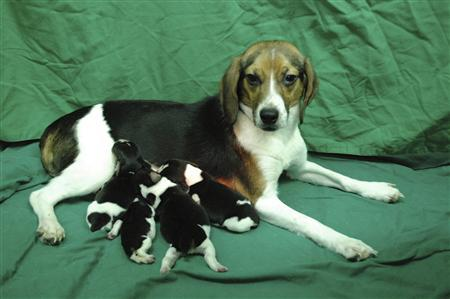 In this undated handout picture released to Reuters on July 28, 2011, a genetically modified dog Tagon and her puppies are seen at Seoul National University (SNU)'s College of Veterinary Medicine in Seoul. REUTERS/Seoul National University/Handout