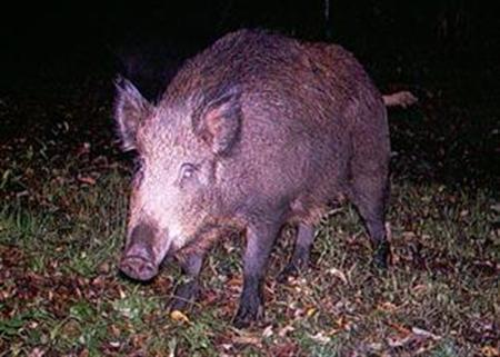 A wild boar in an image courtesy of the New York Invasive Species Council. Reuters/Handout