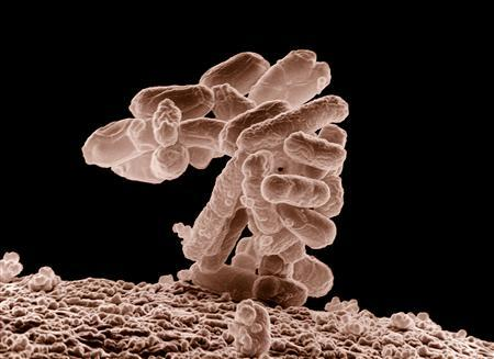 E. coli bacteria is seen in an image taken by an electron microscope. REUTERS/USDA/Handout