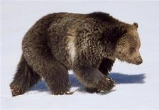 <p>A grizzly bear in Yellowstone National Park, in an April 2003 photo. REUTERS/Jim Peaco/National Park Service</p>