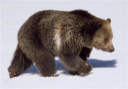 A grizzly bear in Yellowstone National Park, in an April 2003 photo. REUTERS/Jim Peaco/National Park Service