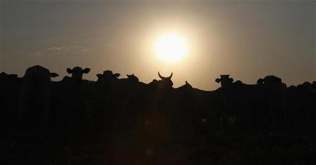 Cattle is silhouetted at feedlot at Santa Maria da Amazonia farm in Sorriso, in the central Brazilian state of Mato Grosso September 7, 2011. REUTERS/Paulo Whitaker