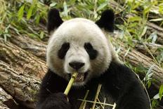 <p>Yuan Zi, a male giant panda, bites on bamboo inside his enclosure at the ZooParc de Beauval in Saint-Aignan, Central France January 17, 2012. REUTERS/Benoit Tessier</p>