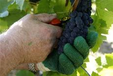 <p>A worker picks grapes of Pinot Noir in the Alsace region of eastern France, August 31, 2009. REUTERS/Vincent Kessler</p>