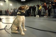 """<p>Uggie, el perro protagonista de """"The Artist"""", durante una ceremonia en los estudios Red de Los Angeles, ene 31 2012. Uggie, el perro protagonista de """"The Artist"""", no asistirá a los premios Oscar ni aparecerá en la alfombra roja el próximo día 26, a pesar de haberse ganado el corazón de millones de espectadores. REUTERS/Mario Anzuoni</p>"""