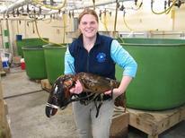 """<p>Un homard de plus de 12kg, baptisé """"Rocky"""" et dont les pinces pourraient briser le bras d'un homme, a été pêché au large des côtes du Maine, aux Etats-Unis, puis relâché jeudi dans l'océan Atlantique. /Photo transmise le 23 février 2012/REUTERS/Département des ressources marines du Maine</p>"""