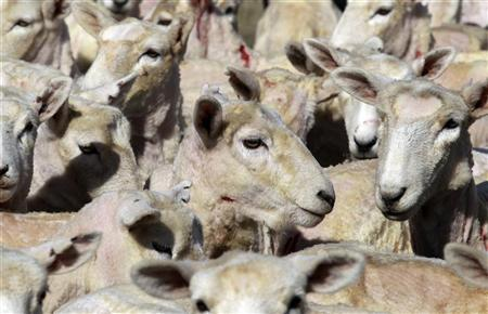 Sheared sheep stand outside a woodshed in Portobello near Dunedin September 19, 2011. REUTERS/Stefan Wermuth