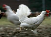 <p>La commune de Pincé, dans la Sarthe, a décidé d'offrir à chaque famille volontaire un couple de poules pondeuses chargées de picorer leurs épluchures de légumes et autres restes de repas pour aider ses 200 habitants à réduire le volume de leurs déchets. /Photo d'archives/REUTERS</p>