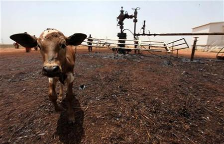 A cow covered in oil walks at an oil still at a ruptured oil well in South Sudan's Unity State, March 3, 2012. REUTERS/Hereward Holland