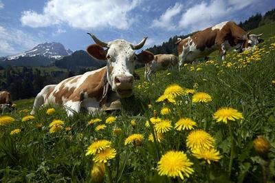 Fresh mountain cheese