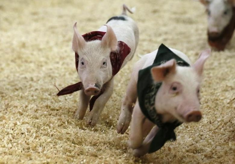 Piglets race at the Los Angeles County Fair in Pomona, California September 4, 2013. REUTERS/Lucy Nicholson