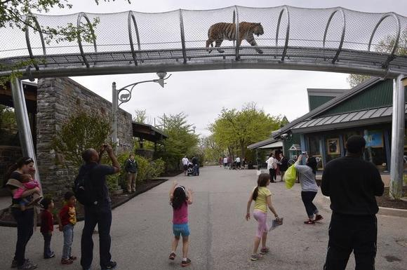 An Amur tiger walks over the new Big Cat Crossing as visitors look on at the Philadelphia Zoo in Philadelphia, Pennsylvania May 7, 2014.       REUTERS/Charles Mostoller