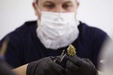 Section Grower Morgan Blenk sorts marijuana plants at Tweed Marijuana Inc in Smith's Falls, Ontario, March 19, 2014. REUTERS/Blair Gable