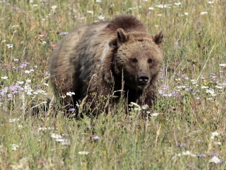A grizzly bear walks in a meadow in Yellowstone National Park, Wyoming August 12, 2011. REUTERS/Lucy Nicholson