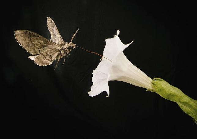 A pollinating moth Manduca sexta, this one with a wing span of about 4 inches, feeds from a Sacred Dutura, or Datura wrightii, flower while flying through a wind tunnel at the University of Washington in Seattle, Washington in this May 2014 picture provided by Kiley Riffell.  REUTERS/Kiley Riffell/Handout via Reuters