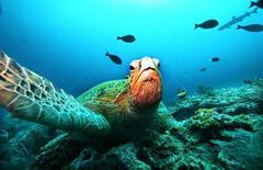 Гигантская зеленая черепаха отдыхает на коралловом рифе в море Сулавеси к востоку от Борнео 7 ноября 2005 года. Внук знаменитого океанографа Жака-Ива Кусто Фабьен в среду завершил рекордное по продолжительности 31-дневное погружение под воду в компании ученых и документалистов. REUTERS/Peter Andrews