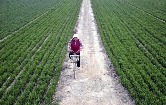 A farmer rides a bicycle along a small alley between wheat fields in Chiping county, Shandong province March 24, 2014. REUTERS/Stringer