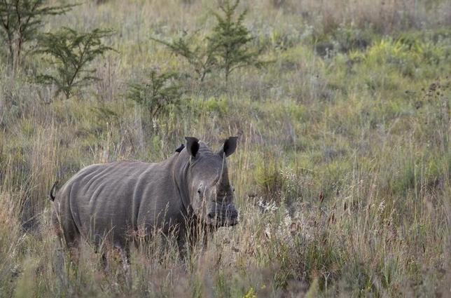 A White Rhino walks through scrub in the dusk light in Pilanesberg National Park in South Africa's North West Province April 19, 2012.  REUTERS/Mike Hutchings