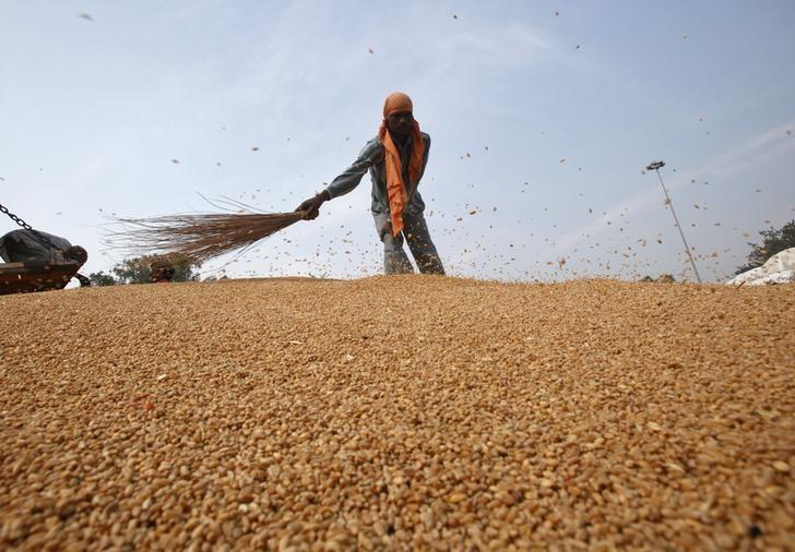 A labourer removes dust from wheat crops at a wholesale grain market in Chandigarh November 6, 2013. REUTERS/Ajay Verma/Files