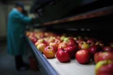 Яблоки на предприятии польской компании RAJPOJ близ города Груец 4 августа 2014 года. Правительство России утвердило с 7 августа полный запрет на импорт фруктов, овощей, мяса, рыбы, молочной продукции из стран, введших санкции против России на фоне конфликта с Украиной - США, ЕС, Австралии, Канады и Норвегии. REUTERS/Filip Klimaszewski