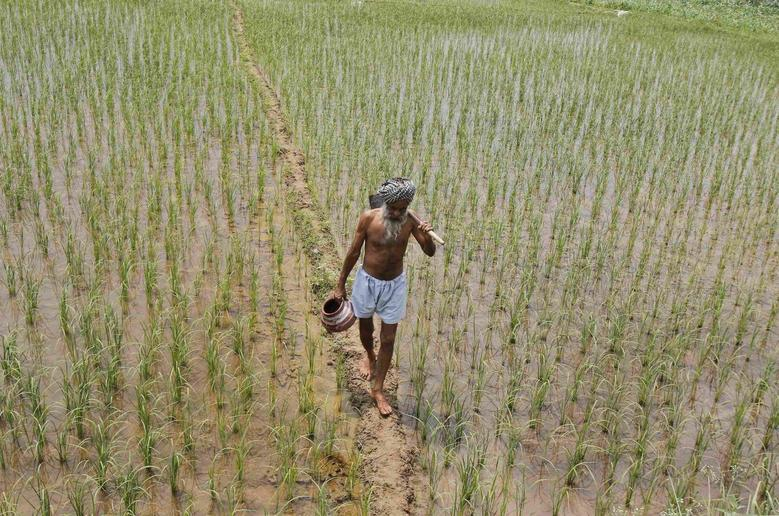 A farmer walks through a paddy field at Tannaurah village in the northern Indian state of Punjab August 1, 2014.  REUTERS/Ajay Verma