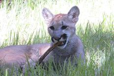 A seven-month-old Florida panther named Yuma chews on a stick in his new home at Ellie Schiller Homosassa Springs Wildlife Park in Homosassa Springs, Florida, August 21, 2014.   REUTERS/Florida Fish and Wildlife/Karen Parker/Handout