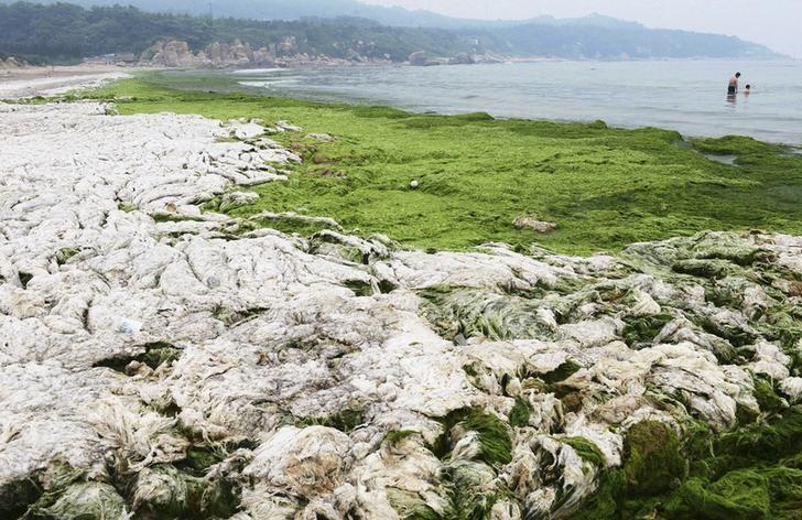 People swim in the sea as dried algae is pictured along the coastline in Qingdao, Shandong province, June 22, 2013. REUTERS/China Daily