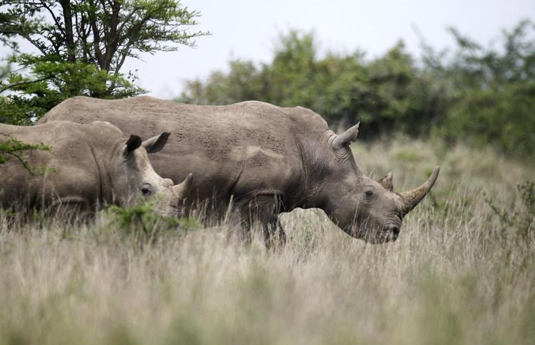 Black female rhinoceros are seen grazing at the Nairobi National Park in Kenya's capital Nairobi, September 19, 2014.  REUTERS/Thomas Mukoya