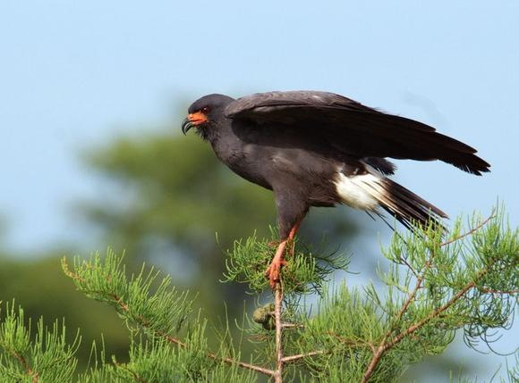 A Snail Kite, one of Florida's iconic breeding bird species, perches on a branch at J. W. Corbett Wildlife Management Area near West Palm Beach, Florida in this July 12, 2008 handout photo. REUTERS/Mike Baranski/FWC/Handout via Reuters