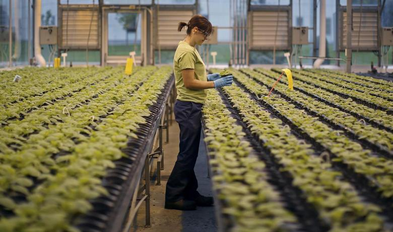 A worker inspects the Nicotiana benthamiana plants at Medicago greenhouse in Quebec City in this file photo taken August 13, 2014. REUTERS/Mathieu Belanger/Files