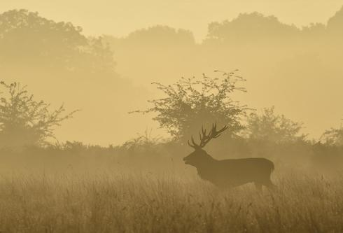 The deer of  Richmond Park
