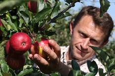 French farmer Hubert Deusy harvest apples in his 8 hectare apple orchard at the Verger d'Epinoy near Cambrai, northern France September 3, 2014. French apple growers are facing a sharp drop in revenue this year due to Russia's restrictions on food imports from Western countries. With the European Union's second-largest apple producer Poland unable to export its usual 700,000 tonnes of the fruit per year, these are set to come and compete at cut price on EU markets. The European Commission said fruit and vegetable producers would receive aid of up to 125 million euros ($162 million) to help them cope with the impact of the ban. French Agriculture Minister called people to eat local products to avoid a slump in prices. Picture taken September 3, 2014.   REUTERS/Pascal Rossignol (FRANCE - Tags: AGRICULTURE FOOD BUSINESS POLITICS)