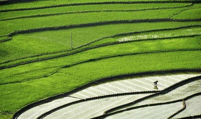 A farmer plants paddy on a terrace field in Suichuan county, Jiangxi province May 20, 2014. REUTERS-Stringer