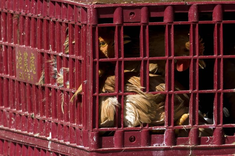 Chickens look out from a cage at a wholesale poultry market in Hong Kong December 31, 2014.  REUTERS/Tyrone Siu