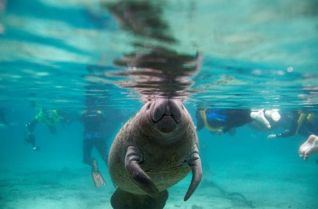 A Florida manatee swims in the Three Sisters Springs while under the watchful eye of snorkelers in Crystal River, Florida January 15, 2015. REUTERS/Scott Audette