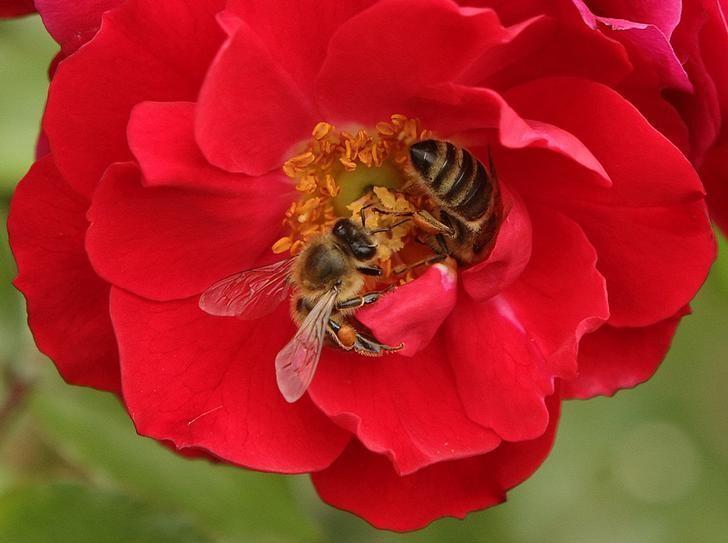 Honeybees collect nectar in a rose garden in Vienna August 27, 2014. REUTERS/Heinz-Peter Bader