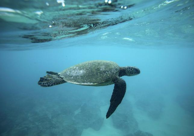 A Green Sea turtle swims over a reef on the North Shore of Oahu, Hawaii, in this file photo taken March 20, 2013. REUTERS/Hugh Gentry/Files