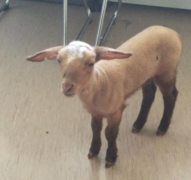 A handout picture obtained from the website of the Munich police shows three-week-old lamb named Birke May 21, 2015. REUTERS/Muenchner Polizei/Handout via Reuters