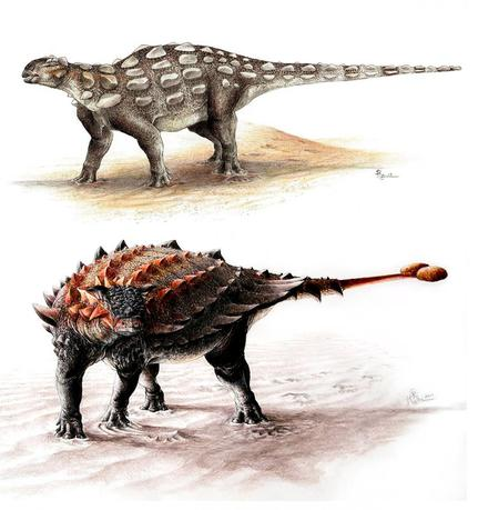 Gobisaurus (top) compared with Ziapelta, an ankylosaur with a fully developed tail club, as seen in an undated illustration courtesy of Victoria Arbour.  REUTERS/Victoria Arbour/Handout