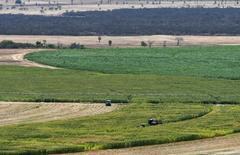 Una granja de maíz, vista en Limoeiro do Norte, Brasil, 15 de enero de 2015. La Compañía Nacional de Abastecimiento de Brasil elevó el viernes su pronóstico general de cosecha de maíz en 2014/2015 a 84,7 millones de toneladas desde las 84,3 millones de toneladas calculadas el mes pasado. REUTERS/Davi Pinheiro