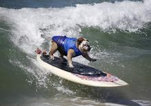 Surfer Dog Tillman rides a wave at the Surf City surf dog contest in Huntington Beach, California in this September 28, 2014 file photo. REUTERS/Lucy Nicholson/Files