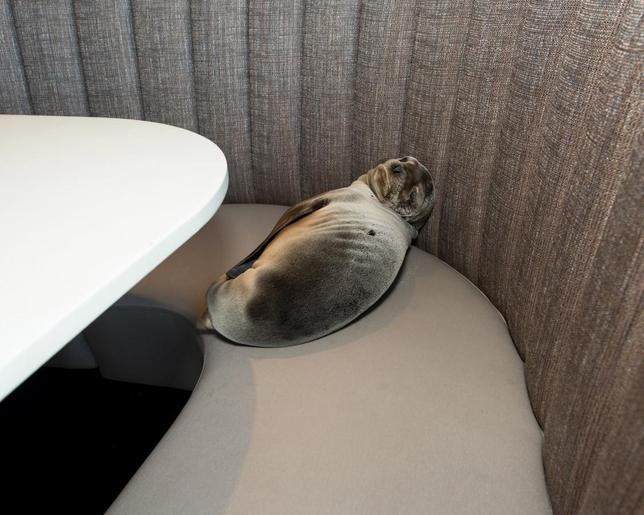 An eight-month-old female California sea lion pup is seen after being found sleeping in a booth in the dining room of the iconic Marine Room restaurant in La Jolla, California in this handout photo taken February 4, 2016. REUTERS/Mike Aguilera/SeaWorld