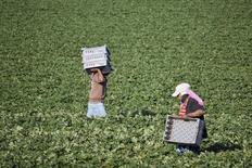 Unos trabajadores en una granja de frutillas en San Quintín, México, mar 25, 2015. La inflación de México se aceleró en enero más de lo esperado, impulsada por un aumento en los precios de productos agropecuarios como la cebolla, así como del gas para uso doméstico, mostraron el martes cifras de instituto nacional de estadística, INEGI.  REUTERS/Rafael Blancas