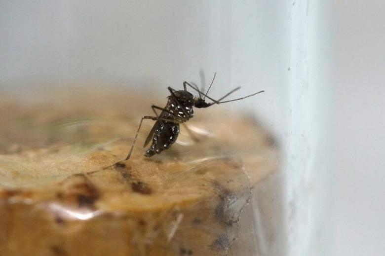A female Aedes aegypti mosquito is seen in a test tube in a laboratory conducting research on preventing the spread of the Zika virus and other mosquito-borne diseases, at the entomology department of the Ministry of Public Health in Guatemala City, February 4, 2016. REUTERS/Josue Decavele